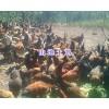 云南散养土鸡批发400-6633-626楚雄山地土鸡养殖场