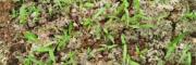 三叉大白芨除草剂-效果展示图—云南白芨除草剂销售