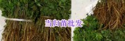 昆明中药材苗出售:紫花白芨苗&当归苗-螺蛳湾药材种苗