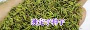 昆明高出芽率药材种子销售:云木香种子&独定子-云南药材种子