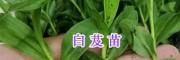 螺蛳湾中药材苗供应:紫花白芨苗&当归苗-昆明药材种苗