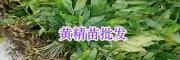 昆明滇黄精苗销售:多花五叶黄精/节根黄精苗价格