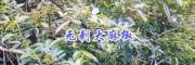 云南无刺花椒新品种—保山无刺大麻椒种苗基地