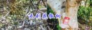 保山无刺花椒种植效益分析-隆阳区高产无刺花椒