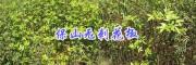 保山大红袍无刺花椒新品种-无刺大麻椒苗培育销售