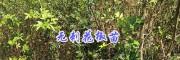 云南无刺花椒年产量有多少#保山无刺花椒苗种植指导-无刺大麻椒