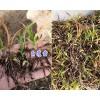 楚雄白芨苗/小白芨块茎苗出售-大姚春苗中药材种植