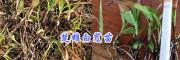楚雄白芨小苗/大白芨块茎苗出售- 13987819680