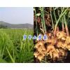 云南小黄姜销售-罗平鲜姜批发基地/13577443919