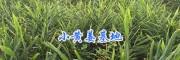 云南罗平大型黄姜批发商&小黄姜加工厂—板桥镇姜之家农副产品