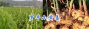 云南干姜块&曲靖干姜片生产商—罗平小黄姜产品批发