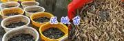 眉山哪里有泥鳅鱼苗—丰收水产15805935509四川泥鳅苗