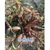 哪有红杆石斛?3年生红杆软脚石斛销售-13649631610