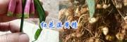 供应文山/曲靖/红河滇黄精种苗-红花黄精种苗批发