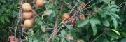 贵州黔西南刺梨种植—刺梨批发-安龙县鑫茂生物科技有限公司