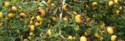 贵州黔西南优质刺梨供应—安龙县鑫茂生物科技有限公司