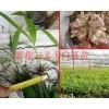 紫花白芨现起苗发货-大理白芨组培苗&云南白芨驯化苗