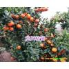 橘橙品种最齐全的苗木基地信息_ 四川海井育苗基地