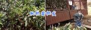 1-2米枇杷苗/大理枇杷果出售—云南宾川大枇杷苗