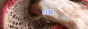 云南野生红菇批发-优质红菇干货