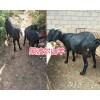黑波尔羊销售-优质努比亚山羊&波尔羊改良品种