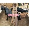 黑山羊新品种-黑波尔羊价格#黑波尔羊种羊批发
