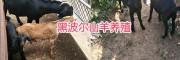 云南新品种黑山羊:黑波尔羊,努比亚山羊、波尔羊杂交改良种
