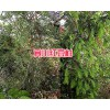 适合在大理栽培的红豆杉苗—13577867315