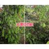 红豆杉苗圃价格#大理红豆杉货源-红豆杉地袋苗