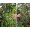 供应攀枝花红豆杉小苗-大理红豆杉批发价/宾川红豆杉苗基地-