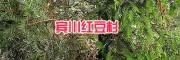 大理哪有红豆杉小苗:宾川红豆杉袋苗种植13577867315