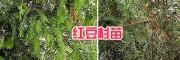 四川红豆杉小苗批发#大理红豆杉苗圃-1-2米红豆杉