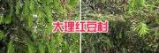 供应丽江、大理南方红豆杉苗—13577867315
