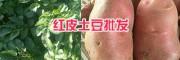 楚雄洋芋批发#红皮洋芋亩产量