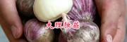 大理紫皮蒜与白皮蒜基地—剑川大大蒜种植基地*独蒜批发