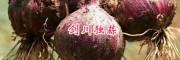 云南大蒜产地,大理独蒜几月上市-新蒜批发价格