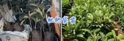 2年枇杷嫁接苗&1-2米枇杷苗价格-大理枇杷苗基地