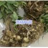 昆明滇黄精苗种植基地-滇黄精块茎苗出售