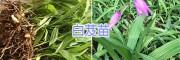 云南白芨种植回收*昆明白芨苗/金铁锁种子基地