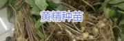 黄精种苗保存方法/什么黄精品种好?云南黄精块茎苗