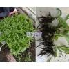 昭通白芨苗市场价格/白芨种植技术指导*