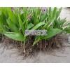 紫花白芨苗今日供应*三叉白芨育苗方法