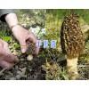 云南特产羊肚菌-野生羊肚菌#香格里拉羊肚菌