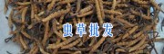 云南哪里产虫草供应-香格里拉虫草*13628889021