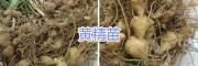 昆明滇黄精种子销售#滇黄精种苗供应—云南六众生物科技
