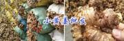 罗平鲜姜、批发生姜报价——曲靖黄姜供应商