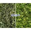 红河古树茶(图片)批发市场报价13577301395