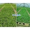 紫花三叉白芨苗-红河州白芨驯化苗*13769388177