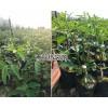 新品种青花椒苗-青花椒基地服务热线13887043679