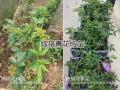 临沧花椒苗供应:新品种青花椒苗嫁接苗*青花椒袋苗